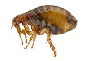Pest Control London for Fleas