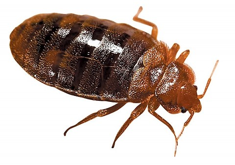 Pest Killers UK Bed Bug Pest Control Service London