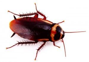 Cockroach Pest Control Service London