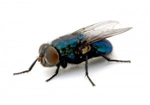 Pest Killer's UK Fly Pest Control Service