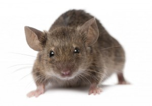 Mice Pest Control Service London