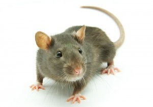 Rat Pest Control Service London